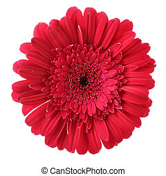 Gerber - Red daisy flower isolated over white background