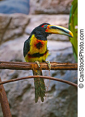 Pale-mandibled Aracari - Close-up shot of a colorfull bird...