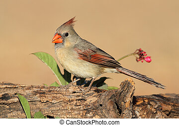Female Northern Cardinal (Cardinalis cardinalis) - Texas