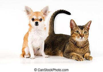 The puppy chihuahua and cat