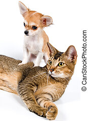 The puppy chihuahua and cat in stud