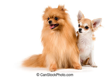 The puppy chihuahua and spitz-dog