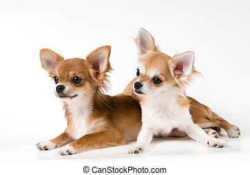 spitz, animaux, Chiot,  d,  Chihuahua