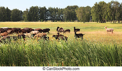 Flock of sheep grazes on a meadow.