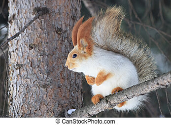 Beautiful squirrel sits on a pine tree.