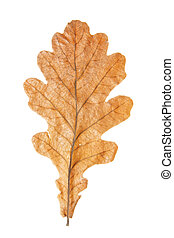 Oak leaf close-up isolated over white background