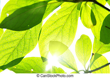 Green leaves and sunshine, may be used as background