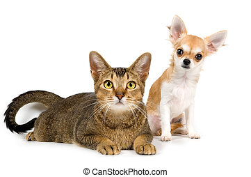The puppy chihuahua and cat in studio on a neutral...