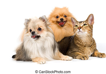 Two spitz-dogs and cat in studio on a neutral background