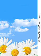 Daisies and sky - Daisies against blue sky and clouds