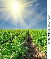 potato field on