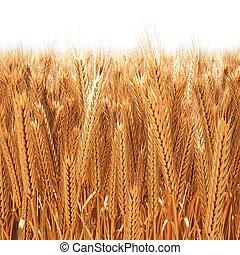 wheat - Field of golden wheat ears. 3D image.