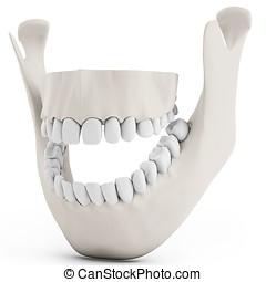 3D, humain, mâchoire, os, ouvert, dents