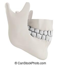 3d human jaw bone closed  with teeth