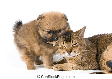 Puppy of the spitz-dog with a cat