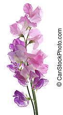 sweet pea - Studio Shot of Pink and Purple Colored Sweet Pea...