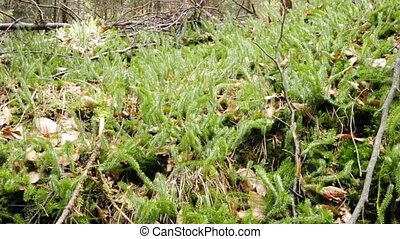 Clubmoss - endangered species clubmoss