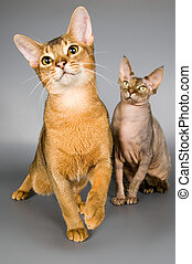 Two cats - Cat of Abyssinian breed and cat of breed the...