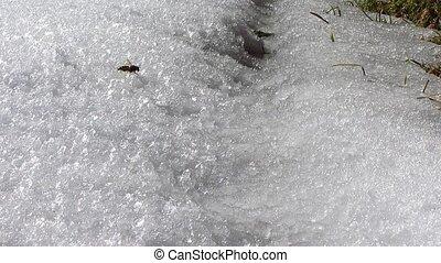 hornet on the snow
