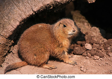 Prarie dog sitting on the ground and looking