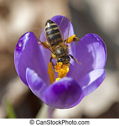 Macro of bee pollinate crocus
