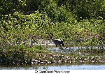 Common crane - Grus grus - A common cran in a beautiful...