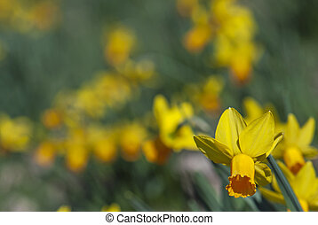 Spring blooming daffodils