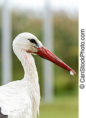 White stork - Portrait of a white stork