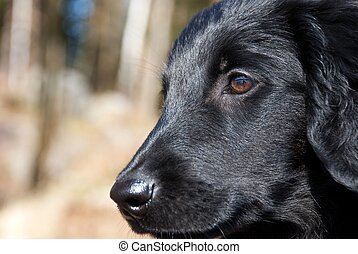close puppy dog face - a puppy dog face as closeup, black...