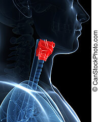 Highlighted larynx anatomy - 3d rendered illustration of the...