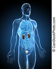 Human urinary system - 3d rendered illustration of the...