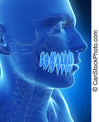 Human teeth - 3d rendered illustration of the teeth