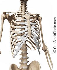 Human skeleton - 3d rendered illustration of the skeleton
