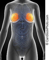 Female mammary glands - 3d rendered illustration of the...