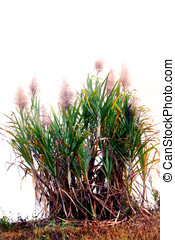sugar cane - plants of sugarcane against white background