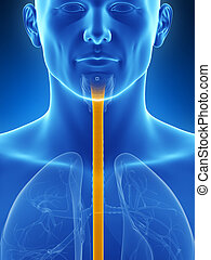 Highlighted esophagus - 3d rendered illustration of the...