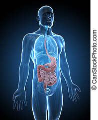 Male digestive system - 3d rendered illustration of the male...