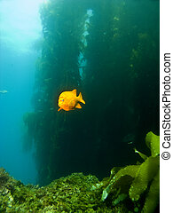 Garibaldi swimming out of the Kelp in Catalina - Garibaldi...