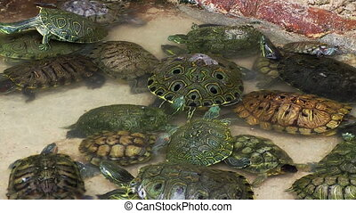 Turtles in Pool at Isla Mujeres Turtle Farm, Cancun, Mexico