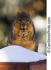 Overweight Fox Squirrel Eating A Nut In Winter
