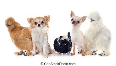 bantam chicken and chihuahuas - bantam silkies, dutch bantam...