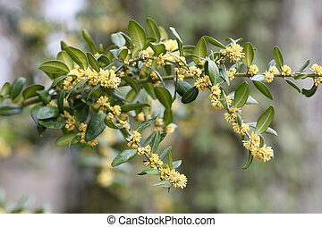 Common box, Buxus sempervirens - Details of a blossoming...