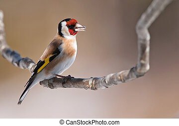 European Goldfinch (Carduelis carduelis) eating - The...