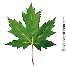 Green Maple Leaf as a spring and summer seasonal themed...