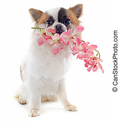 puppy chihuahua and flower - portrait of a cute purebred...