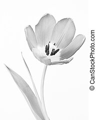 Tulip, black and white - Close-up of tulip in black and...