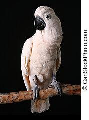 macho, Moluccan, salmão, crested, cockatoo, madeira,...