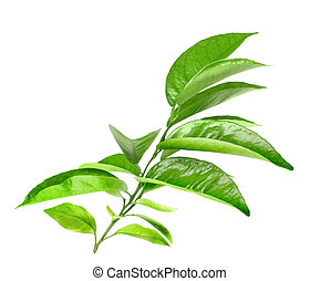 Branch of citrus tree with green leaf. Isolated on white...