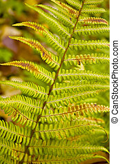 Fern.  - Fern leaves in an early autumn close up.