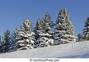Spruces under snow in sunny day